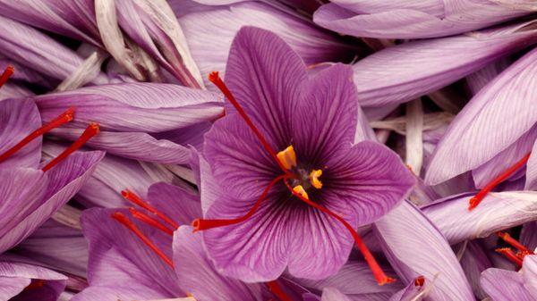 Economic benefits of planting and growing Saffron
