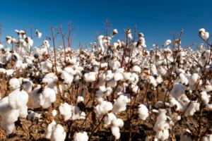 PVH Corp joins US Cotton Trust Protocol